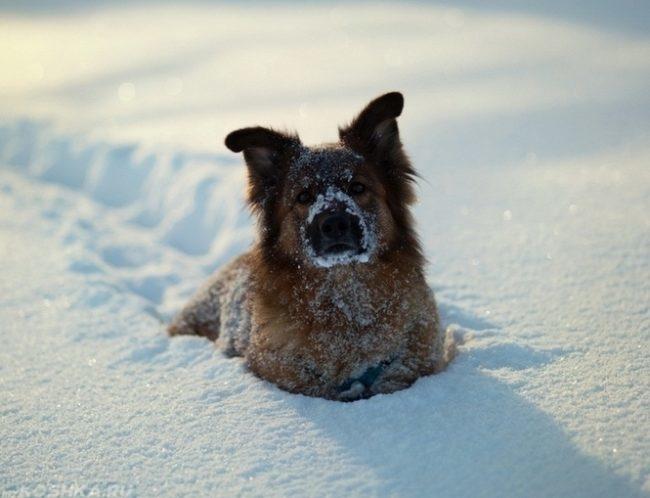 Собака стоящая в сугробе