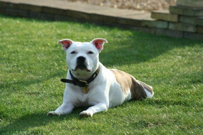 Собака породы питбуль на траве