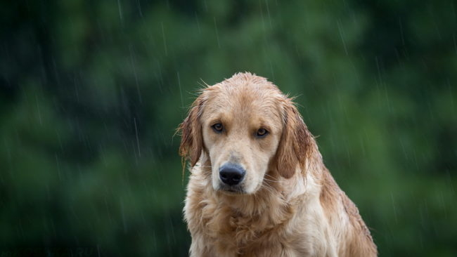 Собака в дождливую погоду