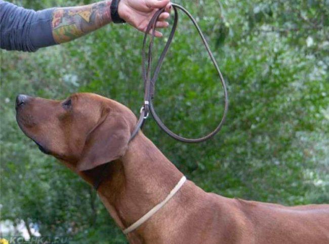 Поводок ринговка на собаке коричневого окраса