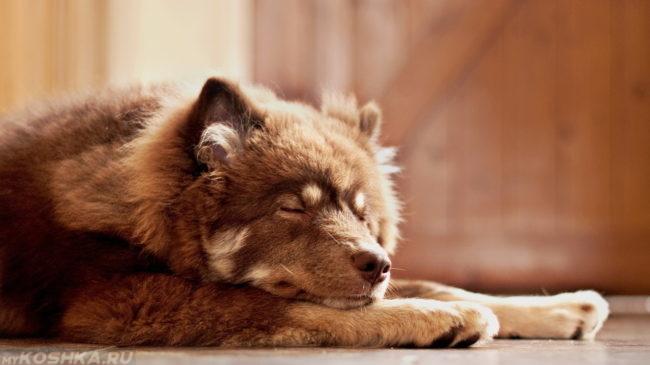 Пожилая собака спящая на полу