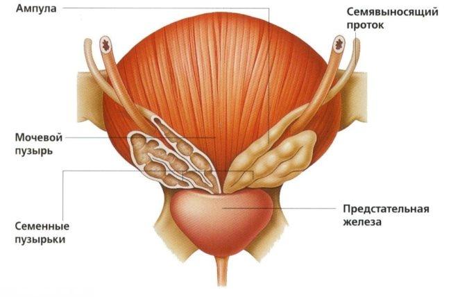 Предстательная железа на схеме