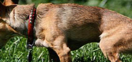 Собака с атонией не может пописать на поляне