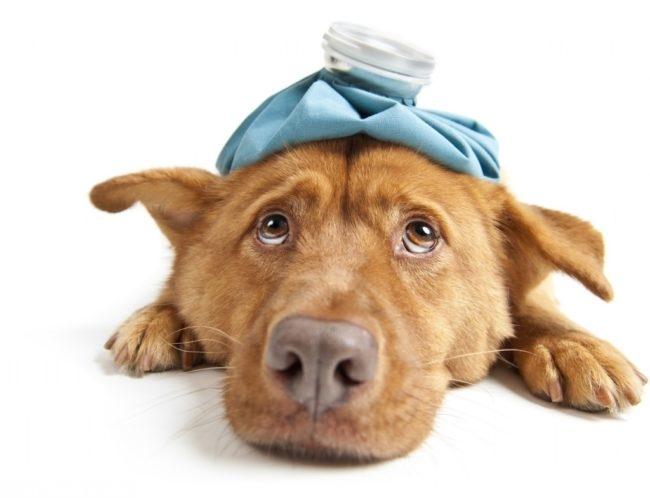 Простуженная собака с грелкой на голове