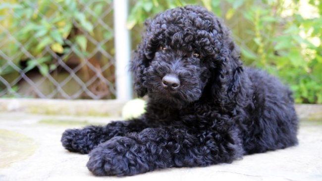 Собака с кудрявой шерстью породы пудель