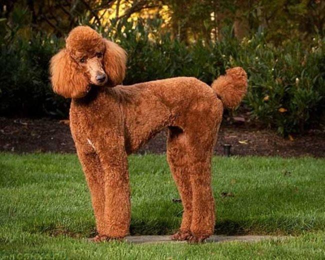 Собака породы пудель на траве