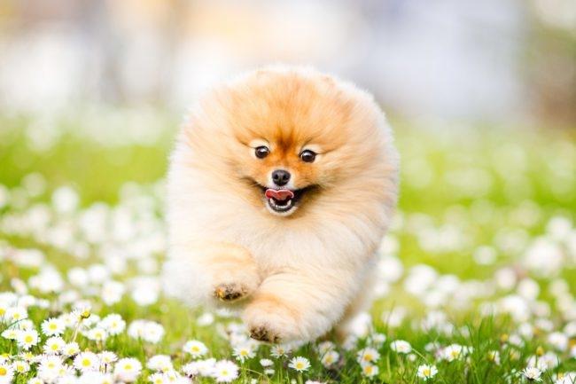Пушистая собака бегущая по траве
