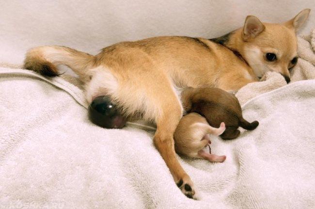 Роды у собаки на белом одеяле