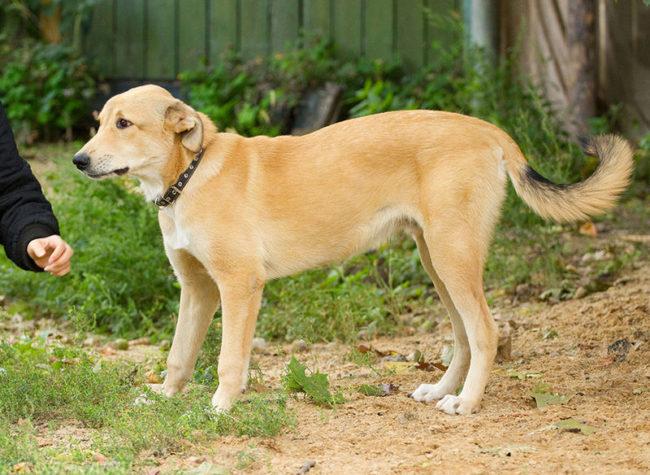 Семь месяцев собаке породы лабрадор