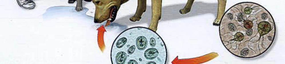 Схема заражения собаки лямблиозом