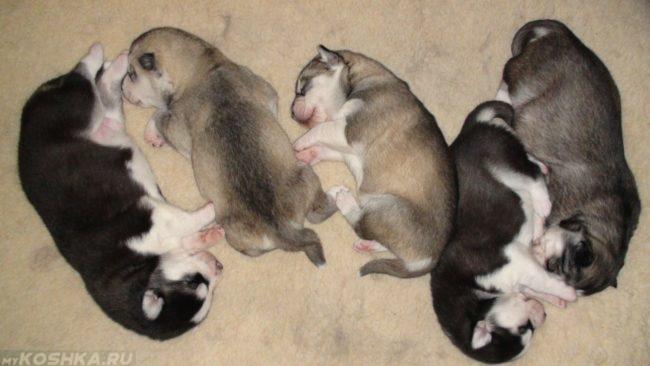 Спящие щенки породы хаски