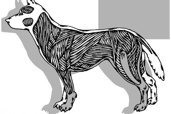 Скелетная мускулатура собаки на схеме