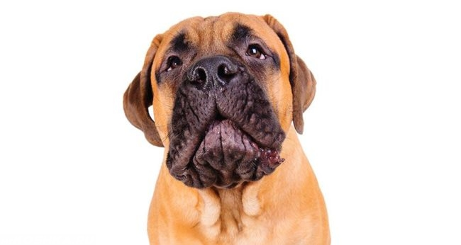 Собака светло коричневого окраса