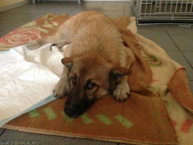 Ослабевший пёс лежащий на животе