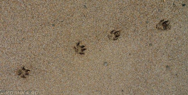 Собачьи следы на мокром песке