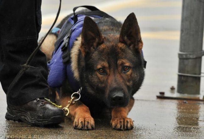 Служебная собака на поводке