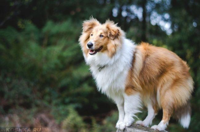 Здоровая и бодрая собака породы шелти