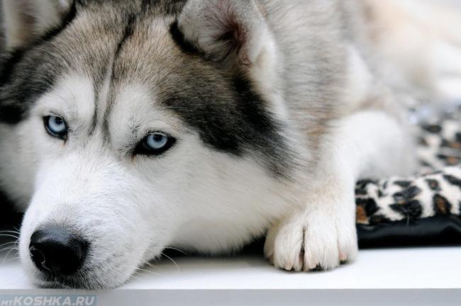 Собака породы сибирская хаски