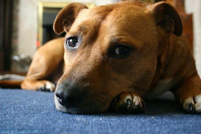 Собака лежащая на синем полу