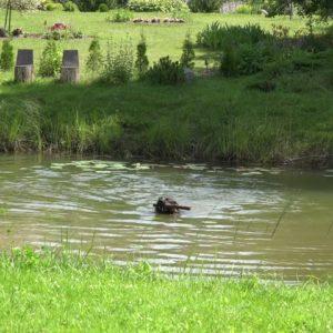 Собака задорно плавает в искусственном водоёме