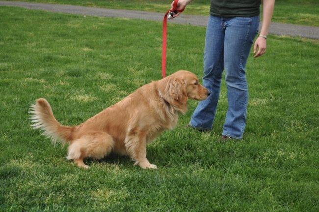 Собака на красном поводке