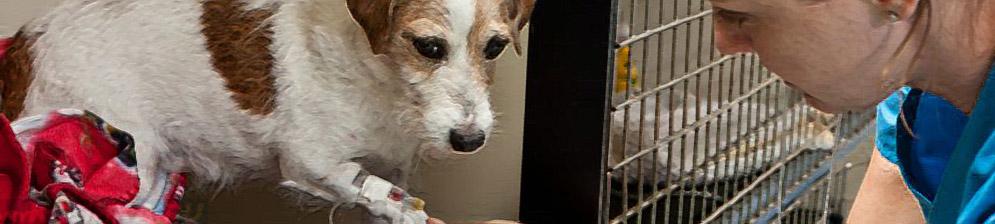 Лечение собаки парвовируса в ветклинике