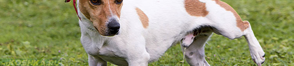 Сбор мочи у собаки на улице