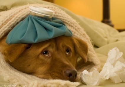 Применение компресса для сбития температуры у простуженной собаки.