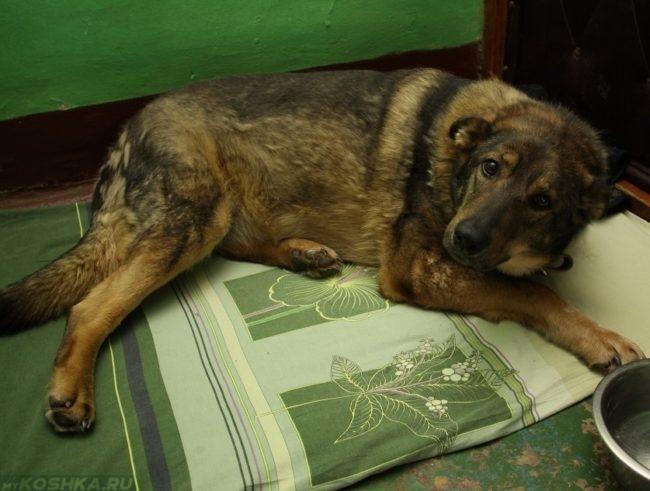 Заболевший пёс лежащий на пороге