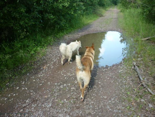 Собаки и лужа посреди дороги