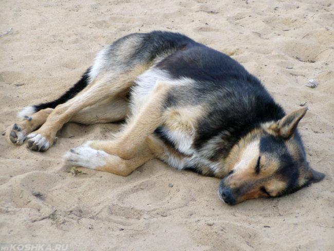 Собака спящая на боку на песке