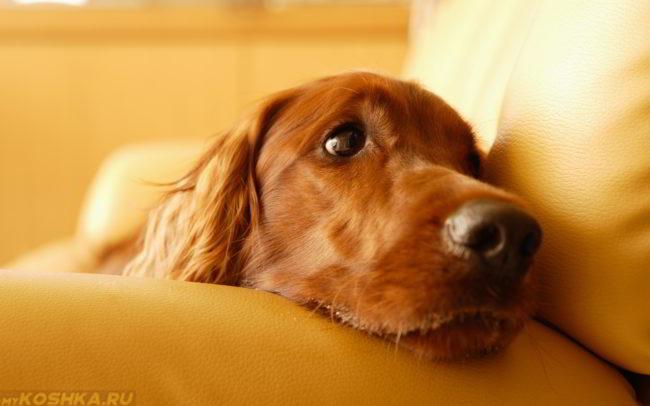 Собака лежащая на диване