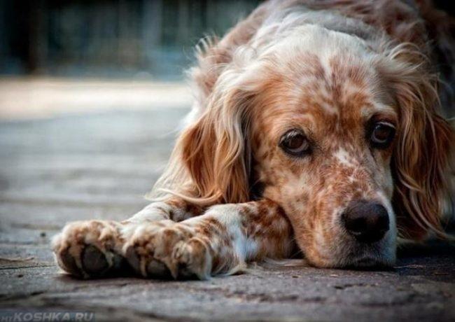 Пожилая собака лежащая на асфальте