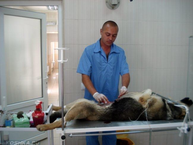 Стерилизация собаки на ветеринарном столе