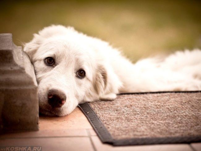 Белая собака с грустными глазами