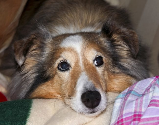 Стресс у собаки положившей морду на одеяло