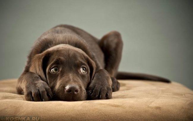 Стресс у собаки прижавшейся к пуфику