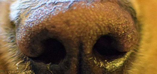 Сухой нос у собаки вблизи и тёплый