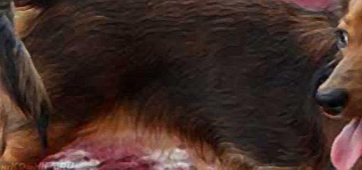 Течка у собаки маленькой породы