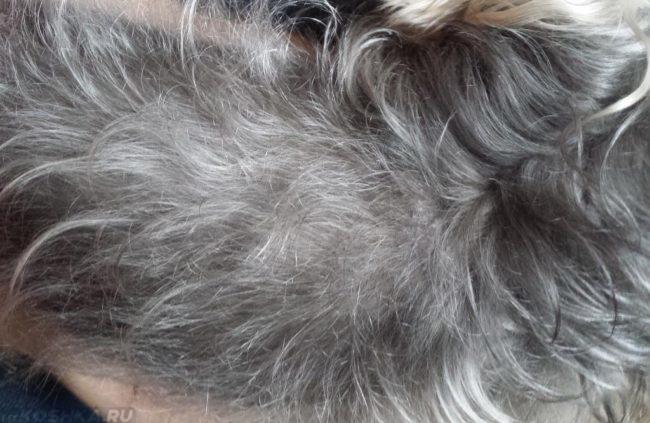 Серая шерсть у собаки в приближенном виде
