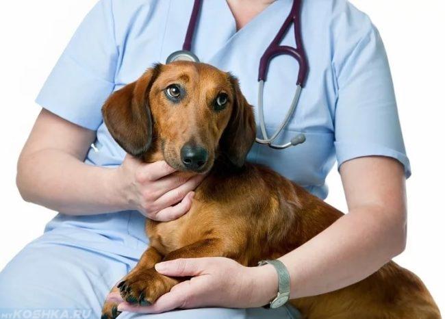 Собака породы такса на руках ветеринара
