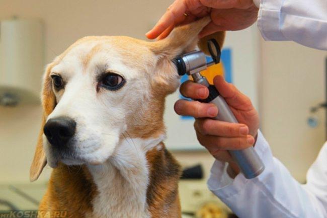 Осмотр уха у собаки в ветеринарной клинике