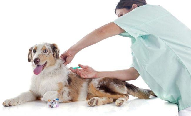 Укол собаке сделанный ветеринаром