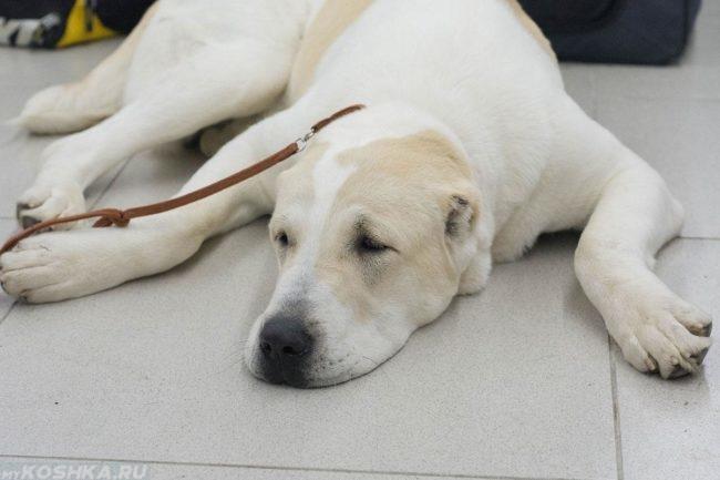 Утомившаяся собака на поводке