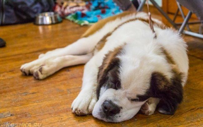 Утомившийся пёс лежащий на полу