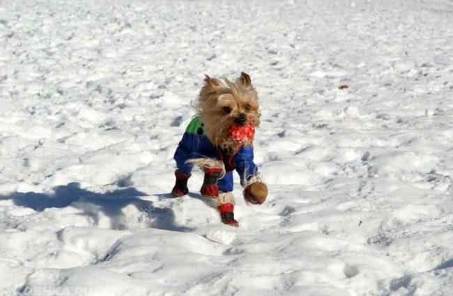 Собака породы йоркширский терьер в костюме на снегу