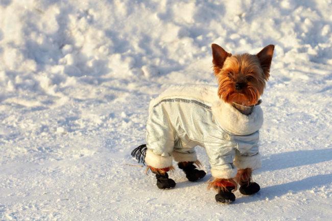 Собака зимой в одежде и обуви