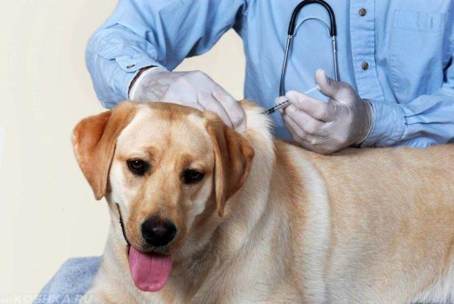 Вакцинация собаки в клинике