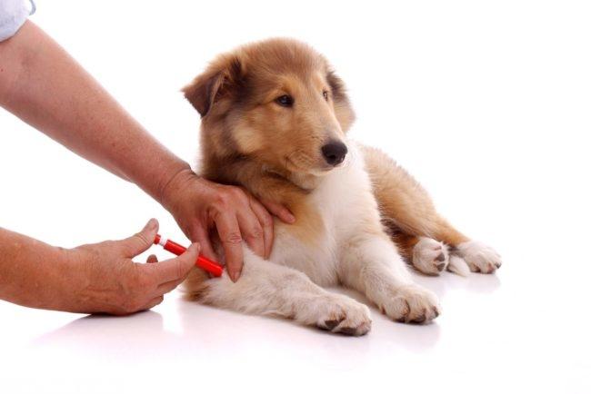 Вакцинация собаки на белом фоне