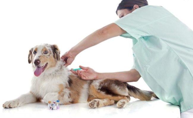 Вакцинация собаки на ветеринарном столе